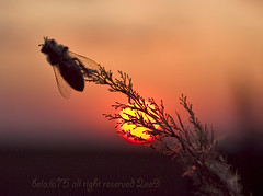BEE SUNSET (bela.675) Tags: world flowers blue light sunset portrait sky cloud sun white plant black flower color macro green nature grass sunshine yellow night bug landscape happy fire nikon tour experiment bee explore crop swamp try reflexion wheater tisa twop fokus banat harmonia zrenjanin nikond80 aradac clickcamera