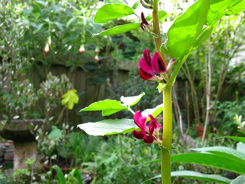 crimson-flowering fava