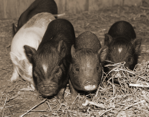 Piggies and the Park 099x