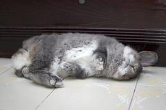 Bunny flop step three (jade_c) Tags: pet rabbit bunny animal mammal singapore opal  hollandlop andora   lagomorph opalhollandlop
