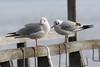 Seagulls - IMG_0284a