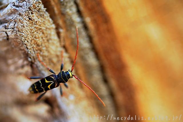 コトラカミキリ [Plagionotus pulcher]