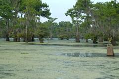 HendersonSwampNEF (2) (wmkaramjr) Tags: la moss louisiana gators bayou cajun cypresstrees acadiana henederson