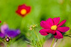 early summer flowers (nosha) Tags: flowers usa flower nature beautiful june gardens newjersey nikon pattern bokeh farm nj mercer honey brook organic hopewell 2009 cosmos mercercounty lightroom flowersplants 105mm organicfarm 105mmf28 blackmagic f32 nosha hopewelltownship hbw 0ev honeybrook 12500sec nikond40 naturerycrap bokehwednesday june2009 12500secatf32