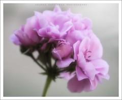 a vintage bokeh (Andrea Rapisarda) Tags: flower beauty closeup purple bokeh olympus fiore viola bellezza geranio noprocessing nohdr fourthird straightoutofmycamera quattroterzi rapis60 andrearapisarda vosplusbellesphotos olympuse620