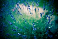 canopy ([Adam Baker]) Tags: flowers summer green canon dof purple bokeh explosion arboretum 50mm14 bee explore cornell portfolio frontpage vignette adambaker planations 5dmarkii hggt