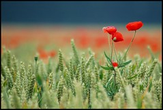 Red is the beating heart of love... (Levels Nature) Tags: uk flowers england flower colour nature beauty field landscape countryside corn dof bokeh somerset poppy poppies westonzoyland saariysqualitypictures mygearandme