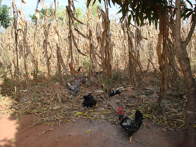 chickens maize shamba