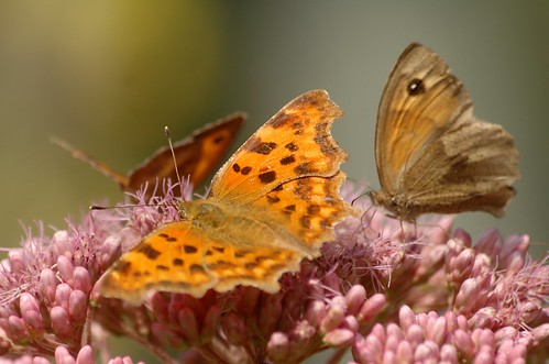 Meetingpoint | Gehakkelde aurelia, oranje en bruin zandoogje - Comma, gatekeeper and meadow brown