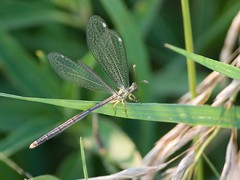Antlion ~ For Studio_XII (Misty DawnS) Tags: nature grass bug insect wings missouri antlion lacewing myrmeleontidae antlionadult