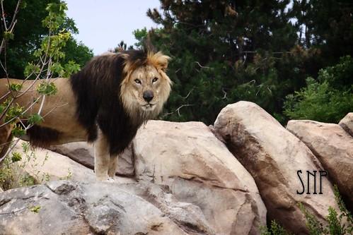 . lion .