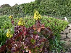 Aeonium arboreum 'atropurpureum' (DigPeter) Tags: uk march cornwall flowering crassulaceae wildplants scillyisles aeoniumarboreum taxavascularplants