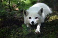 S T R E T C H (Megan Lorenz) Tags: white canada nature animal closeup newfoundland mammal outdoors published looking wildlife watching stjohns stretch fox curious predator staring stretching alert wildanimals arcticfox salmonier blurredbackground vosplusbellesphotos avalonwildernessreserve