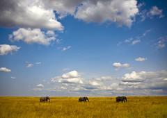 Three elephants in Masai Mara park - Kenya (Eric Lafforgue) Tags: africa sky bush kenya culture games tribal safari tribes afrika elephants tradition tribe ethnic kenia tribo afrique masaimara ethnology tribu eastafrica quénia 7968 lafforgue ethnie ケニア quênia كينيا 케냐 кения keňa 肯尼亚 κένυα кенија кенијa