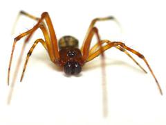 (Parasteatoda tepidariorum) Common House Spider