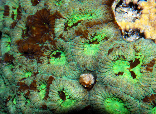 Green Favia brain coral