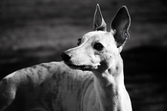 (clerestories) Tags: puppy whippet marzipan pan