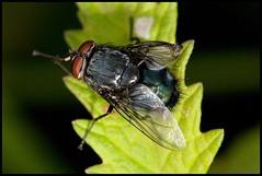 Misgroeide (?) vlieg (Yannig Van de Wouwer) Tags: macro insect niel ef100mm waelenhoek