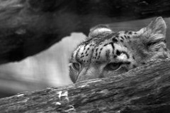 Snow leopard (dbillian) Tags: cats animal animals cat zoo feline leopard bigcat felines damon bigcats snowleopard picnik zoos leopards snowleopards damonbillian billian