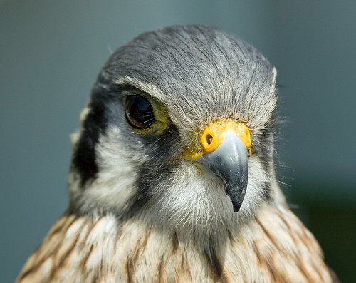 American Kestrel Close-up