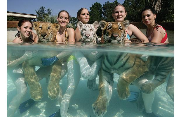 Swimming_with_Tigers_01