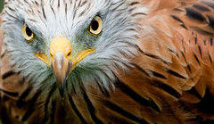 Red Kite (CarlHaynes) Tags: bird eyes eagle feathers potofgold specanimal mywinners platinumphoto theunforgettablepictures platinumheartaward alemdagqualityonlyclub 100commentgroup birdperfect