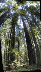 Humboldt Redwoods vertical stitch (ukweli) Tags: honeymoon panoramic redwoodtrees verticalstitch hugin