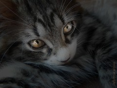 Nocturnal cat (B@rbar@ (Barbara Palmisano)) Tags: pet animal cat dark eyes nocturnal kitty occhi gato siberian gatto animale cucciolo notturno occhidigatto siberiano photographyrocks mywinners