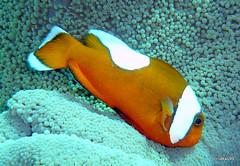 Saddleback clownfish, Cebu Philippines