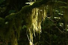 Usnea in a sunbeam (kkdemien) Tags: plants usnea rockportstatepark