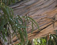Eucalyptus Photo
