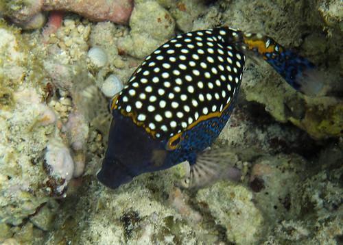 white spotted boxfish ( male)