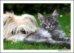 Ils s'aiment... (BegMeil44) Tags: dog chien cat chat jardin hund mainecoon katze garten bergerdespyrnes labrit