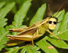 Grasshopperhead
