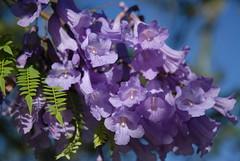jacaranda (ebexploring) Tags: purple australia brisbane jacaranda