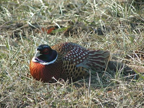 pheasant01-05-09