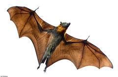 Fruit Bat (Ian Gethings) Tags: park city fruit grey flying bend wildlife bat australia melbourne victoria fox yarra headed greyheadedflyingfox naturesfinest pteropuspoliocephalus specanimal anawesomeshot theunforgettablepictures bfgreatesthits bestofmywinners