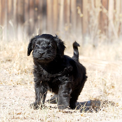 Rook on the move (Immature Animals) Tags: rescue dog cute puppy tucson foster bark adoption