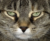 Nikki's Face (jodispayne.....Mostly off :() Tags: macro beautiful animal cat eyes feline nikki tabby icon animaleyes catfaces cc100 bestofcats impressedbeauty vosplusbellesphotos sweetlifepool jodispayne friendsofzeusphoebepool americanphotocreativeshowcasepool