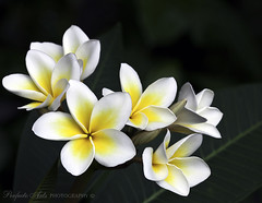 First of my frangipanis. (Ingrid Douglas Images - ART in Photography) Tags: plumeria frangipani tropicalflowers macro100mmlens tropicaldelight cairnsimages ingridinoz perfectoartsdreamcaptures yellowandwhitefrangipani summertimeinthetropics southernhemispheresummertime