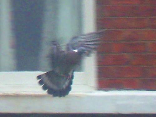 Pigeon Drop