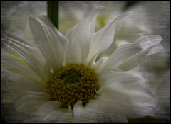 Delight.... (Rebeca Mello) Tags: stilllife flower texture textura nature photoshop sony natureza flor margarida legacy lightroom alpha200 sonyalpha200 awardtree miasbest miasexcellence rebecamello rebecamcmello daarklands flickrvault flickrvaultexcellence trolledproud daarklandsexcellence