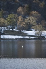 Single swan on Grasmere