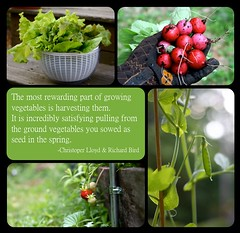The Most Rewarding Part of Gardening (Chiot's Run) Tags: radishes quote strawberries lettuce peas harvesting growingyourown growingvegetables gmofreeworld