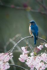 sprung (nosha) Tags: new blue usa flower bird beautiful beauty newjersey bokeh nj jersey bluebird avian lightroom oceangrove 300mmf4 2011 nosha nikond300