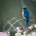 sprung (nosha) Tags: new blue usa flower bird beautiful beauty newjersey bokeh nj jersey bluebird avian lightroom oceangrove 300mmf4 2011 nosha nikond300