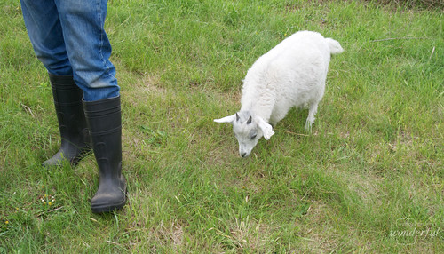 Farm_Goats3