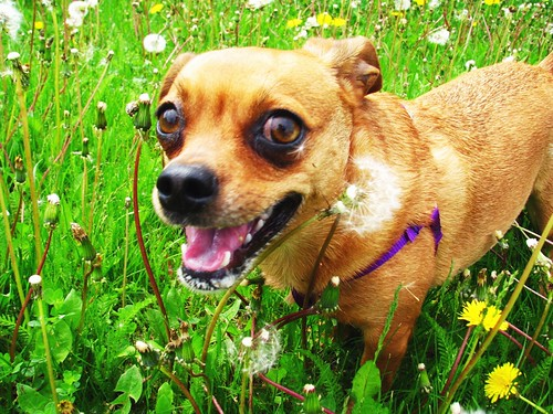 Grace in the dandelions - post-run!