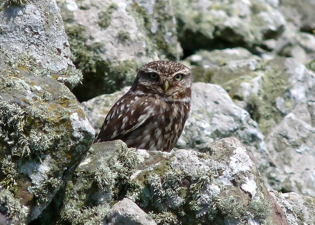 24387 - Little Owl, Skomer