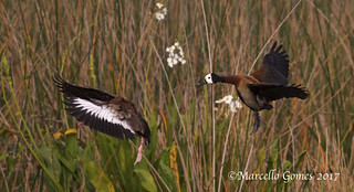 White-faced Whistling Duck (Dendrocygna viduata) WFWD & Black-bellied Whistling Duck (Dendrocygna autumnalis) BBWD - Cousins in Flight